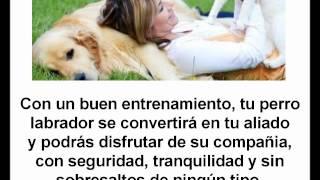 Como Educar A Un Perro Labrador Golden Retriever Cachorro O Adulto | Perros Labradores