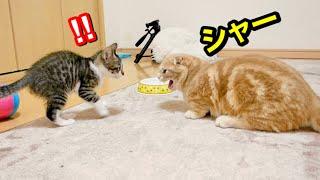 先住猫との対面で子猫がとった行動が勇敢すぎた…【保護猫】