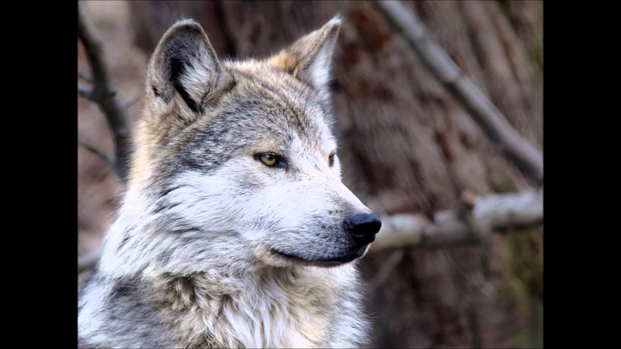 Gray Wolf Facts - YouTube