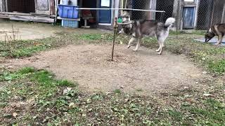 北海道犬子犬 hokkaido dog puppy hokkaidoken hokkaidodog.