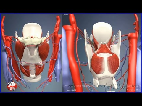 Larynx | 3D Human Anatomy | Organs