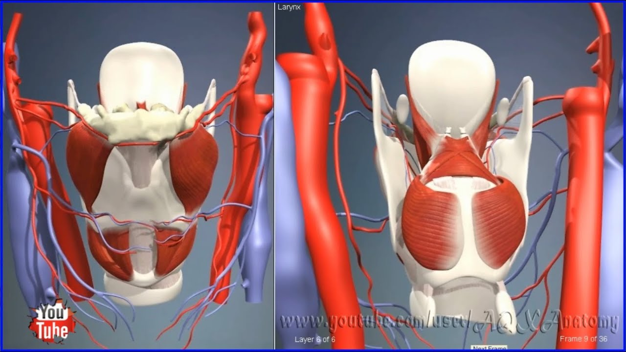 Larynx | 3D Human Anatomy | Organs - YouTube