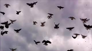Скачать любовь и голуби голуби летят над нашей зоной