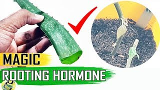 MAGIC ROOTING HORMONE -ALOE VERA GEL for CLONING Plants vs Costly Powders