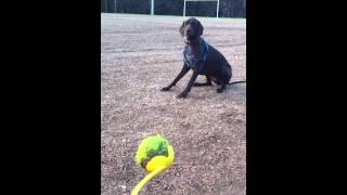 German Short-haired Pointer Fetches Ball (petacular Services)