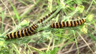 Медведица крестовниковая. Ядовитая гусеница.(Некоторые гусеницы приобретают токсичность через растения, которые они поедают. И это касается гусениц..., 2016-07-04T13:36:35.000Z)