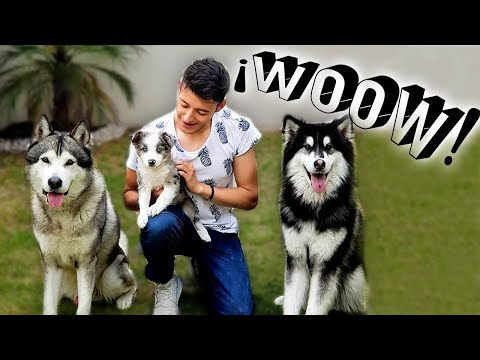 1 cachorro VS 2 perros adiestrados - CMARA OCULTA