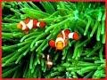 Jenis Anemon Untuk Ikan badut