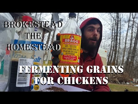Fermenting Grains For Chickens Brokestead the Homestead Ep 4