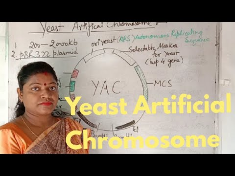 Yeast Artificial Chromosome