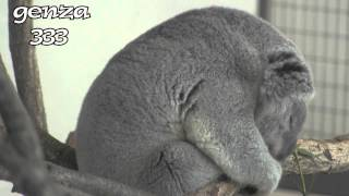 Repeat youtube video Koala Sleeping:Animal Video