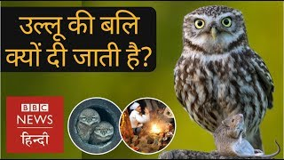 Diwali: Why people sacrifice Owls during festival of lights? (BBC Hindi)
