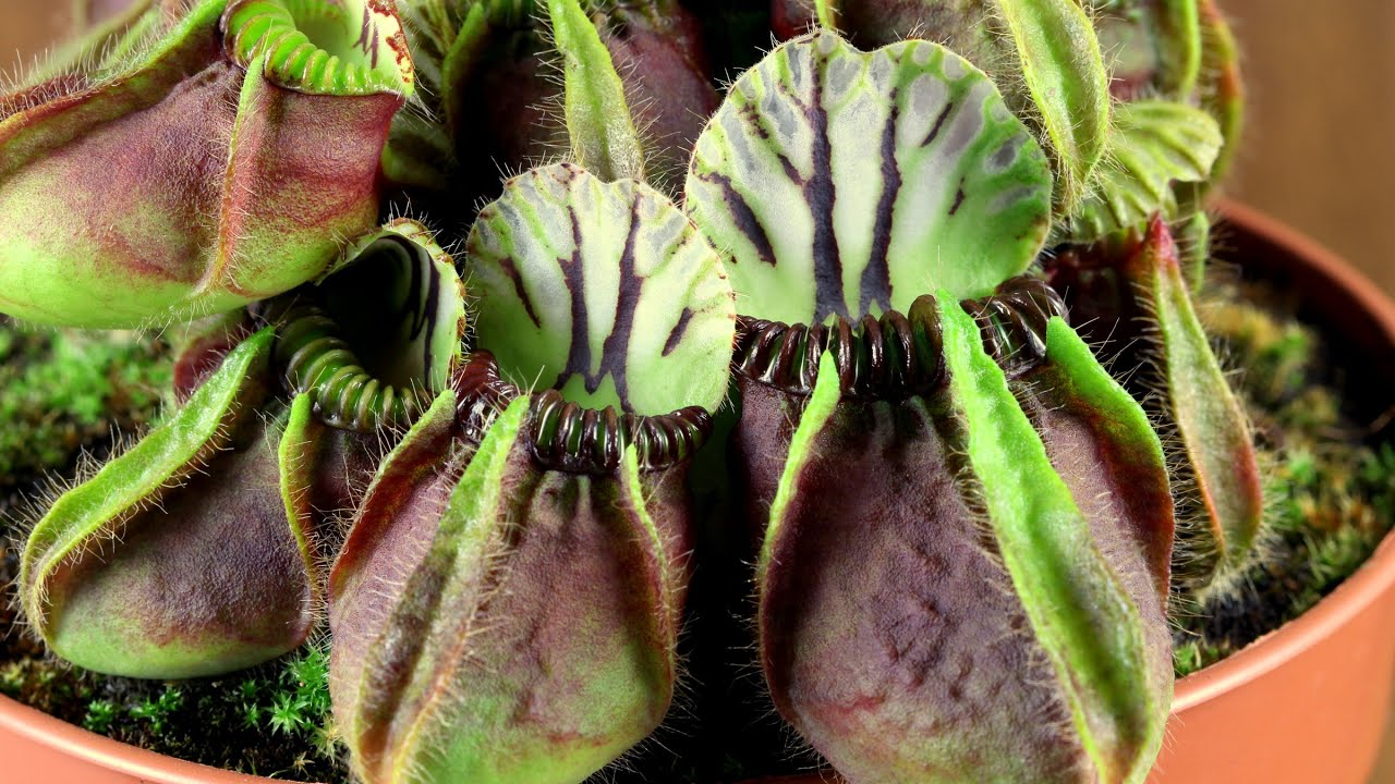 Cephalotus Follicularis Youtube