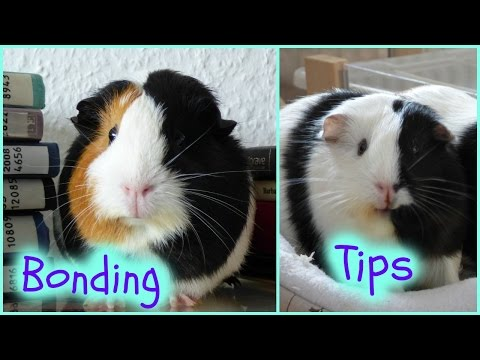 Tips For Bonding With Your Guinea Pigs