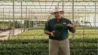 Dracaena Deremensis Care Instructions.avi