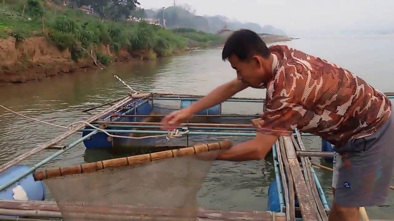 การเล ยงปลาในกระช งร มแม น ำโขง Tilapia In Cages Along The Mekong River