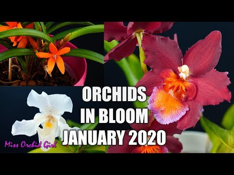 orchids-in-bloom---january-2020-+-orchid-of-the-year-2019!