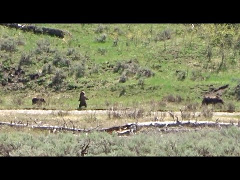 Yellowstone 2018: Grizzly family takes a swim