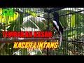 Tembakan Suara Kacer Kasar Kacer Lintang  Mp3 - Mp4 Download
