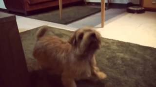 My Norfolk terrier Bambam playing with his toy