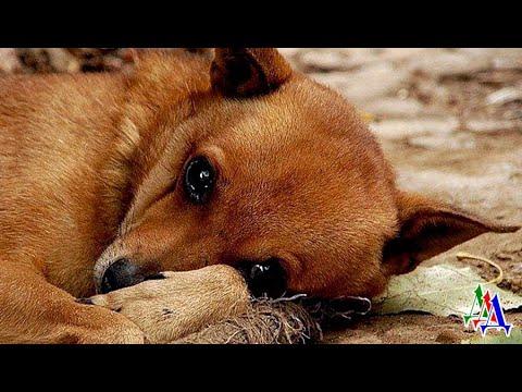 В собачьих глазах блеснула  слеза…Проживший всё лето на даче ПЁС, осенью оказался никому НЕ НУЖЕН