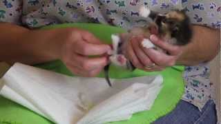 Orphaned Kitten Care: How to Videos - How to Stimulate an Orphaned Kitten to Urinate and Defecate
