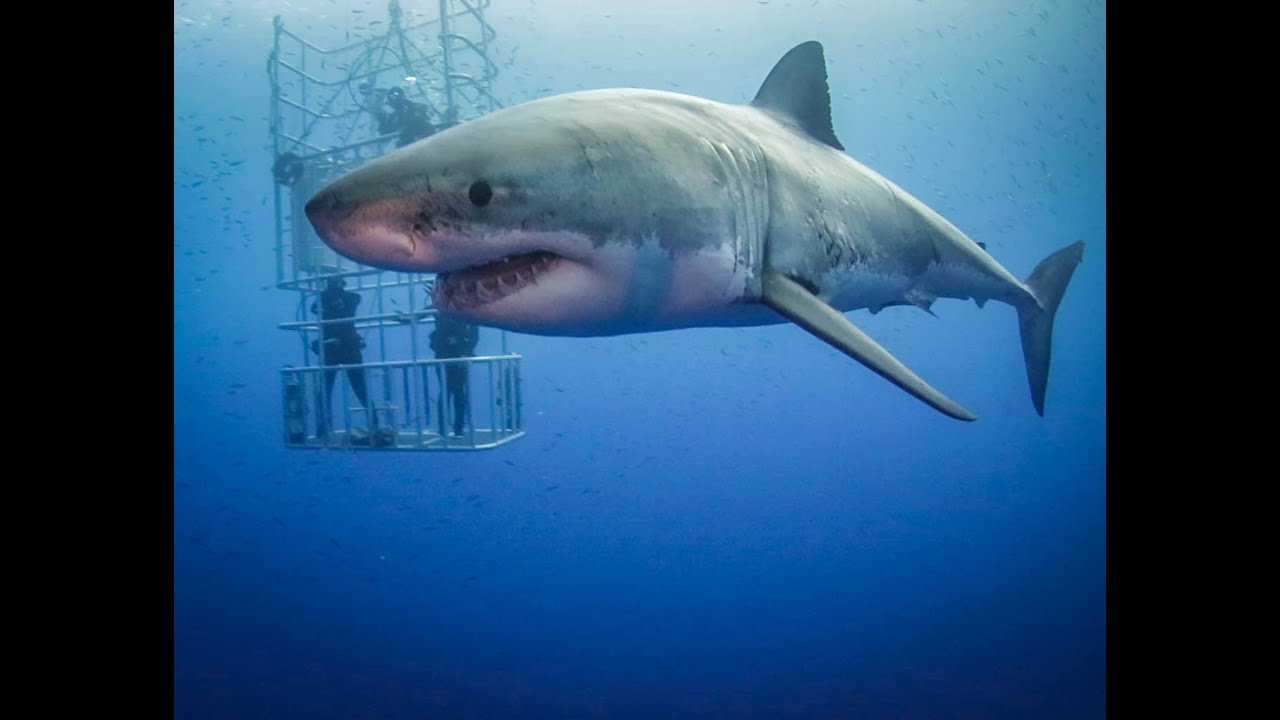 Guadalupe great white sharks hd video youtube for Picture great