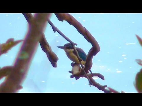 Australia's Sacred Kingfisher