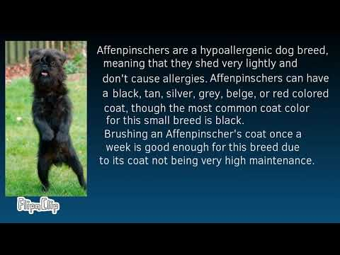Dog Breeds 101 - Affenpinscher