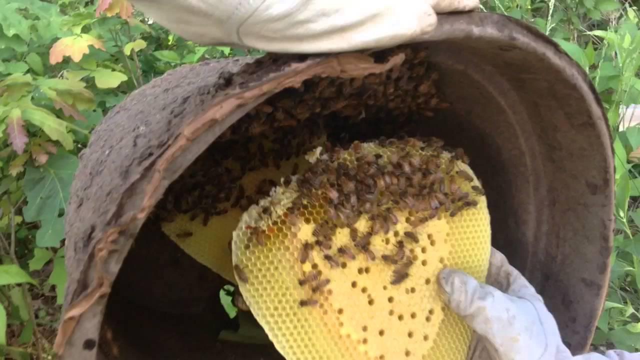 Honey Bee Swarm Trap