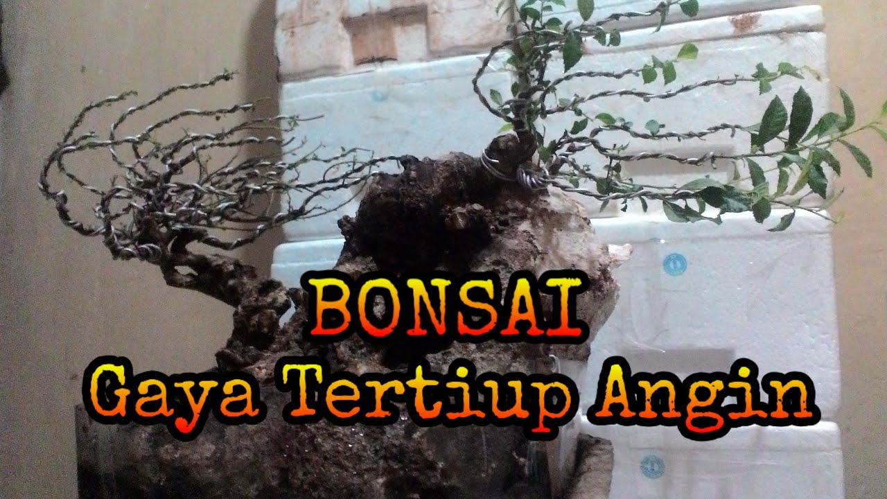 Bonsai Style Wind Swept Gaya Bonsai Tertiup Angin By Nerry