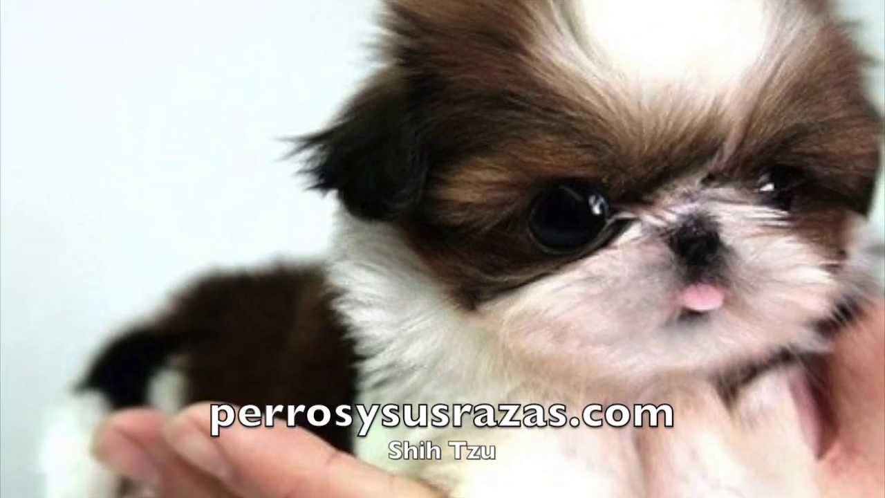 Shih Tzu - YouTube
