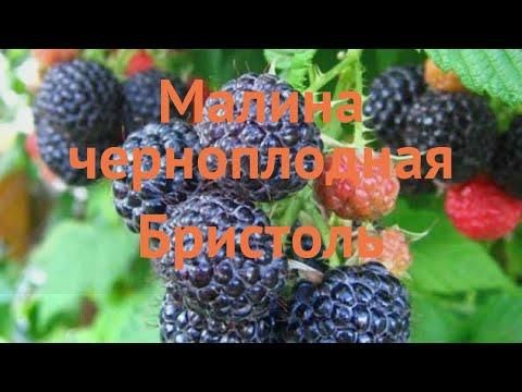 Малина черноплодная Бристоль 🌿 обзор: как сажать, саженцы малины Бристоль