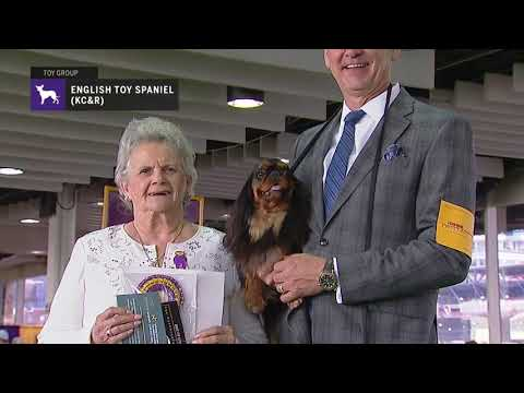 English Toy Spaniels (King Charles & Ruby) | Breed Judging 2019