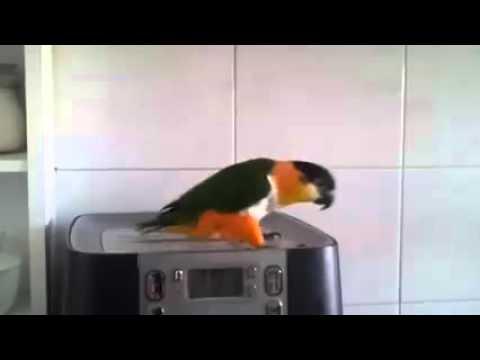 Parrot dancing riverdance