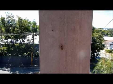 Menemerus bivittatus stealing larvae from ants - Kleptoparasitism