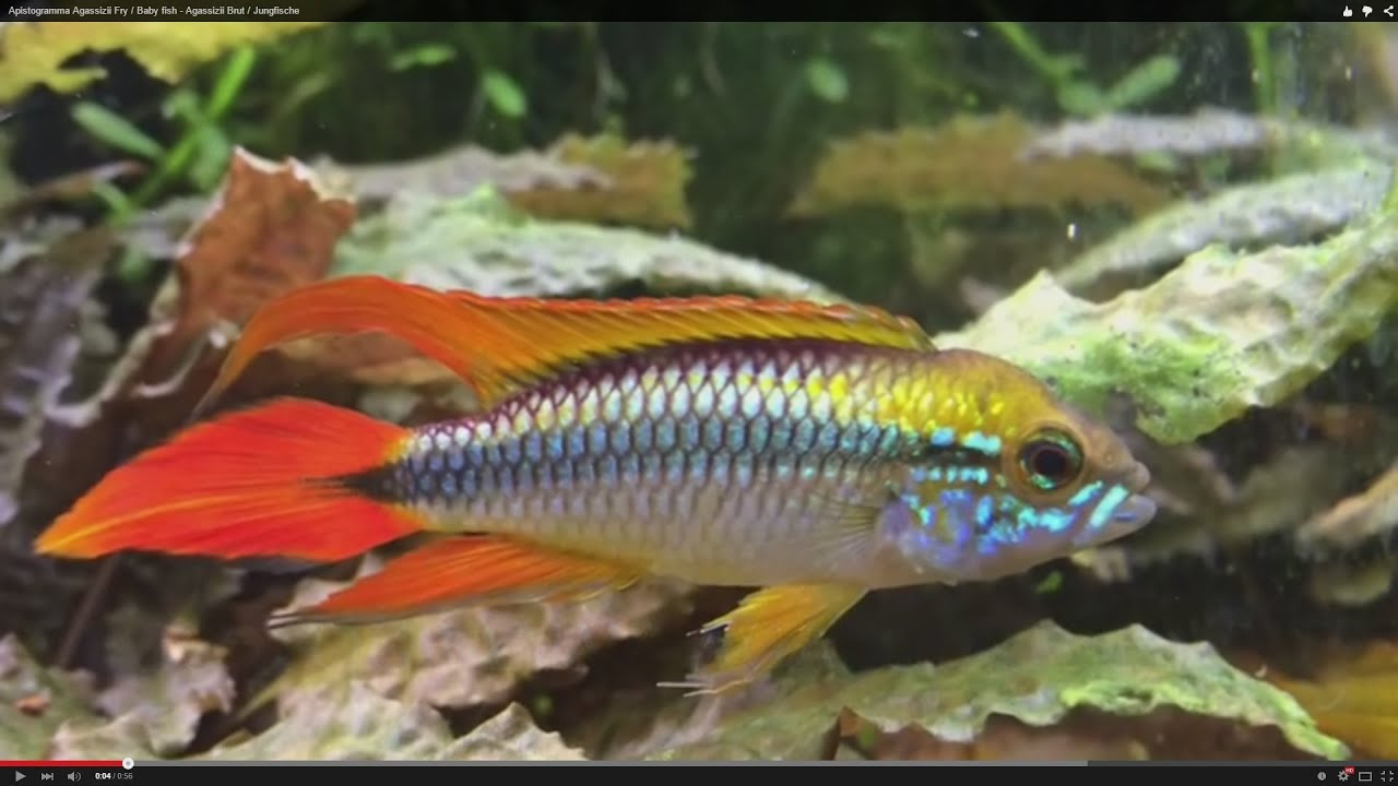 Apistogramma agassizii fry baby fish agassizii brut for Fry baby fish