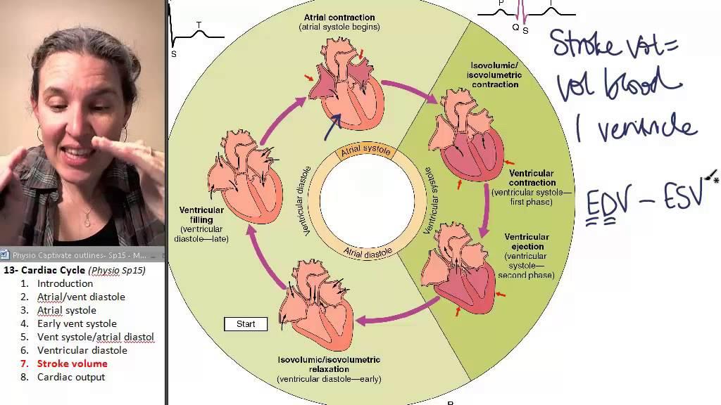 Cardiac cycle 7- Stroke volume - YouTube