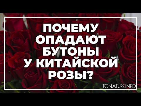 Почему опадают бутоны у китайской розы? | toNature.Info