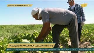 Рекордный урожай риса собрали в Кызылординской области