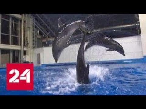 После гибели очередного дельфина директор Приморского океанариума ушел с поста - Россия 24
