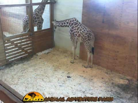 Animal Adventure Park Giraffe Cam AnimalChanel