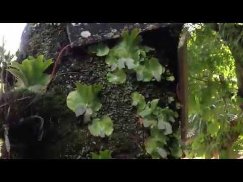 Platycerium wallichii - Staghorn fern - Elkhorn - 鹿角蕨