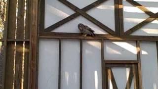 Barred Owl Silent Flight