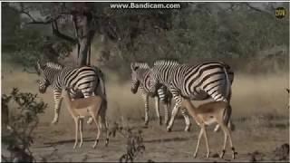~ Zwierzęta Afryki -  Zebry i  Antylopy ~  Safari
