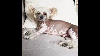 My Chinese Crested Dogs Skin care routineHow to wash your hairless dog?