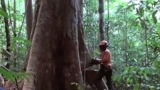 Dexterity Woodworking  Fastest Tree Felling  Быстрая вырубка деревьев  Валка больших деревьев