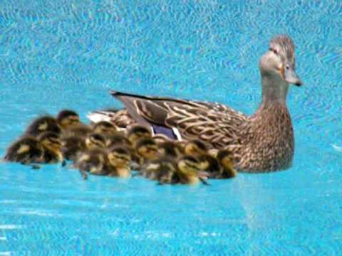 Ducks Enjoying Our Swimming Pool   YouTube Part 73