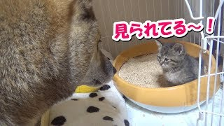 子猫への愛情表現が空回りする柴犬、なんと今回子猫に急接近!!さて、その結果は…??