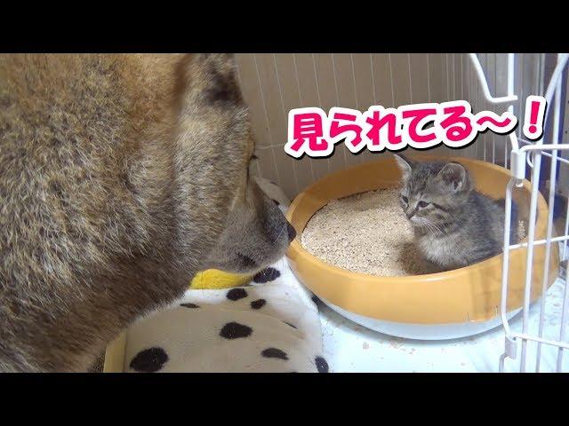 子猫に愛情表現が空回りする柴犬🐾頑張れリキ!—Shiba inu Riki loves kittens—